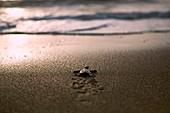 Hawksbill turtle hatchling, Palawan, Philippines
