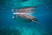 Whale shark feeding in the Bohol Sea, Philippines