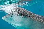 An injured whale shark feeding