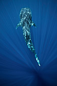 Whale shark, Southern Leyte, Philippines