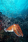 Pharaoh cuttlefish, Richelieu Rock, Thailand