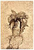 19th century sunspot illustration