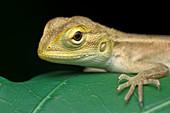 Juvenile changeable lizard