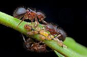 Ants milking treehopper nymph