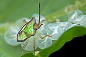 Baby shield bug on leaf