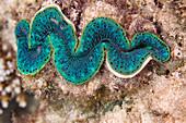 Maxima clam