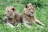 Two juvenile African lions
