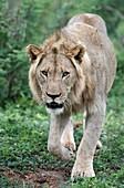 Juvenile African lion