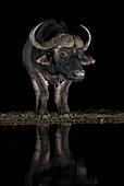 African buffalo at a waterhole at night