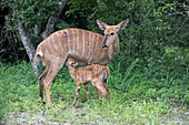 Nyala fawn suckling on its mother