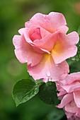 Raindrops on rose (Rosa 'Lilian Austin') flower