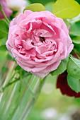 Rose (Rosa 'Bishop's Castle') flower