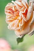 Rambler rose (Rosa 'Alchemist') flower