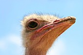 close up portrait of a head of an ostrich