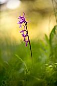 Anatolian orchid flower