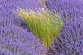 Tor Grass in a Lavandin field.