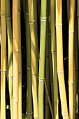Phyllostachys humilis bamboo