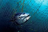 Caught southern bluefin tuna