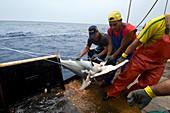 Commercial shark fishing