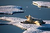 Polar Bear rolling on its back
