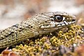 Juvenile Montpelier snake