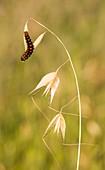 False Apollo butterfly caterpilla