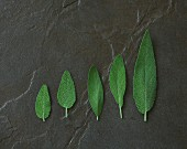 Five different sized sage leaves