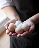 Hands holding fresh chicken eggs with a feather
