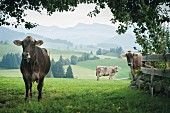 Cows on a field in Ranzenried in the Allgäu region, Bavaria, Germany