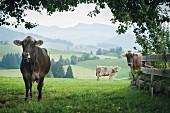 Cows on a field in Ranzenried in the Allgäu region, Bavaria, Germany