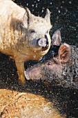 Pigs at the Hofgut Ratzenberg farm in Lindenberg, Allgäu, Bavaria, Germany