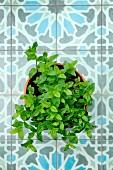 Moroccan mint in a flowerpot