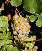 Assyrtiko grapes of Domaine Porto Carras, Sithonia, Halkidiki, Greece