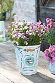 Dianthus 'Pink Kisses' (Nelken) in dekorativen Eimer gepflanzt