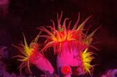 Tubastrea hard coral fluorescing at night