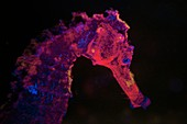 Seahorse fluorescing at night