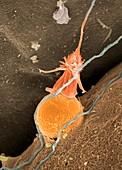 Hydroid nematocyst, SEM