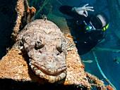 Beaufort's crocodile fish