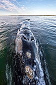 Grey whale blowhole
