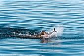 California sea lion feeding