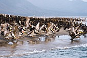 Brown pelicans flocking on a beach