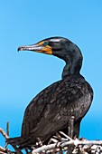 Double-crested cormorant on its nest