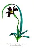 Barbacenia purpurea flower, 19th C illustration