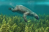 Thalassocnus marine sloth, illustration