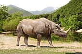 Etruscan rhinoceros, illustration