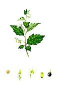 Black nightshade (Solanum nigrum) flowers and fruit