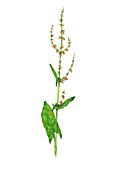 Field sorrel (Rumex acetosella) in flower, illustration