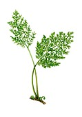 Parsley fern (Cryptogramma crispa), illustration