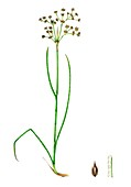 Sharp-flowered rush (Juncus acutiflorus), illustration