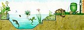 Pond habitat, illustration